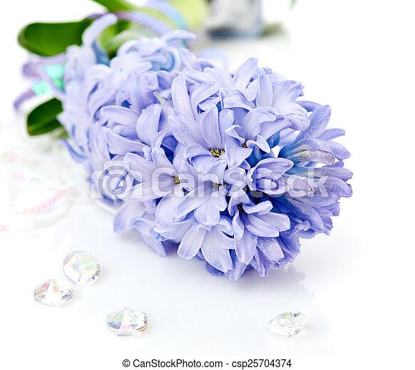 Blue Hyacinth isolated on white background - csp25704374