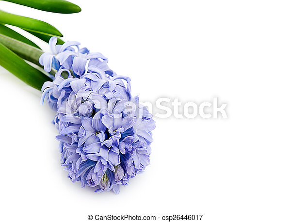 Blue Hyacinth isolated on white background - csp26446017