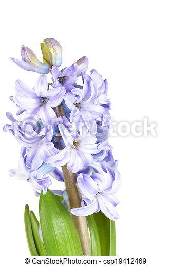 Blue hyacinth isolated on white background - csp19412469