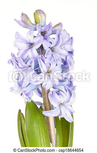 Blue Hyacinth isolated on white background - csp18644654