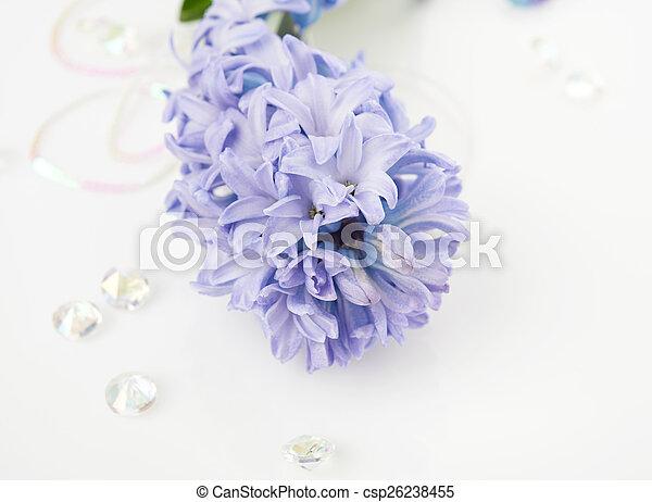 Blue Hyacinth isolated on white background - csp26238455