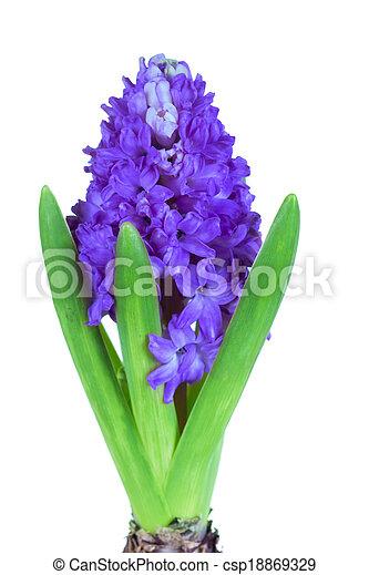 Blue Hyacinth isolated on white background - csp18869329
