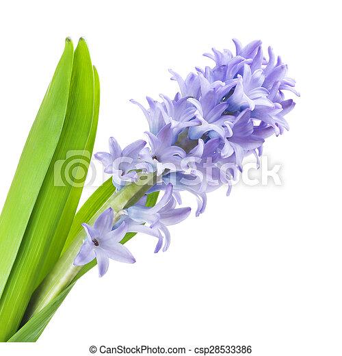 Blue Hyacinth - csp28533386