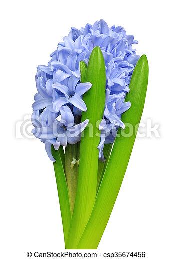 Blue Hyacinth - csp35674456