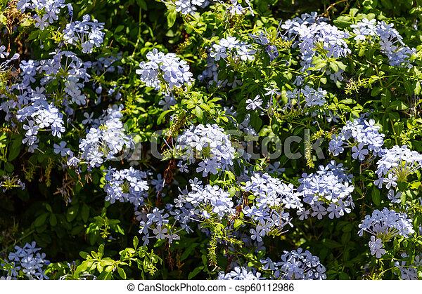 Blue jasmine flowers full background - csp60112986