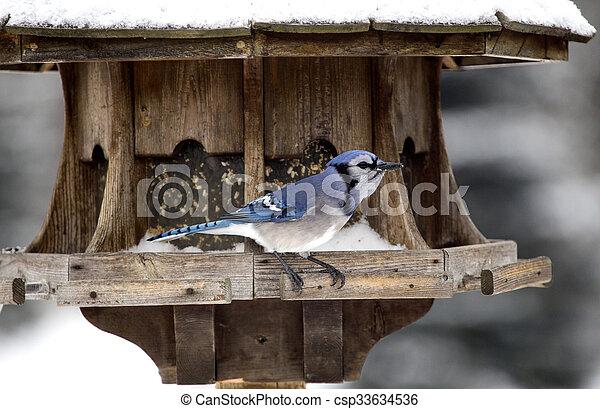 Blue Jay at Bird Feeder Winter - csp33634536
