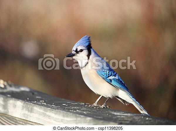 Blue Jay bird - csp11398205