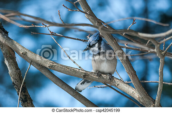 Blue Jay (Cyanocitta cristata) in early springtime, perched on a branch, observing and surveying his domain. - csp42045199