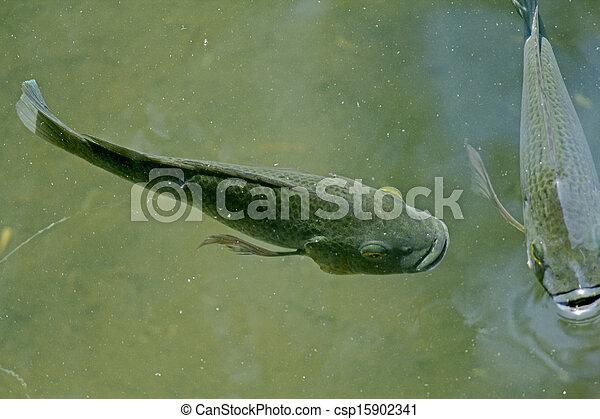 Blue Kurper Mozambique Tilapia Oreochromis Mossambicus Fishes In Water Pond Pune Maharashtra