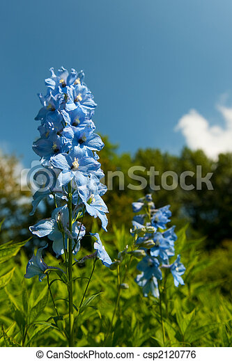 Blue larkspur - csp2120776