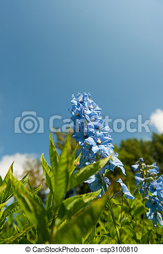 Blue Larkspur - csp3100810