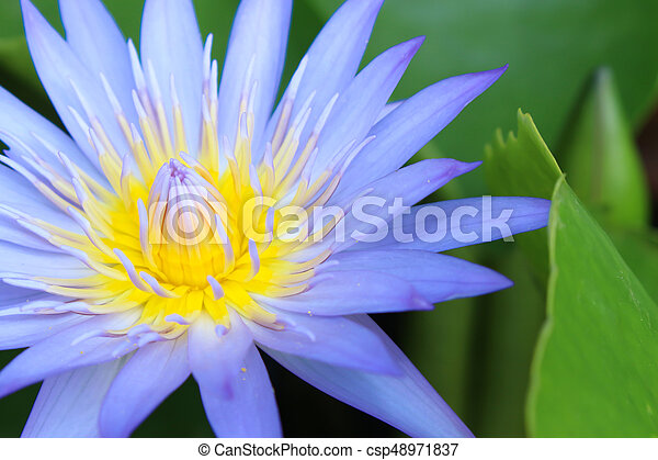 Blue lotus flower background stock photos search photographs and blue lotus flower background csp48971837 mightylinksfo Image collections