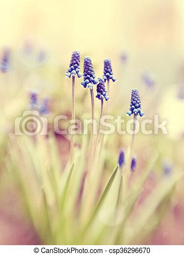 Blue muskari  - csp36296670