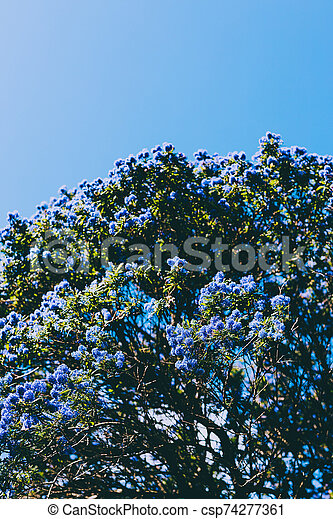 Blue Pacific Ceanothus Tree With Flowers In Full Bloom Shot At