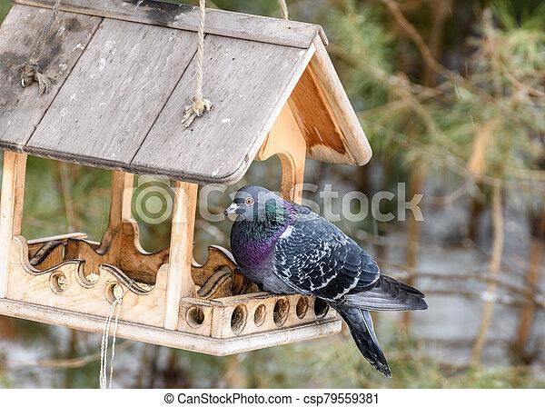 Blue pigeon on the feeder - csp79559381