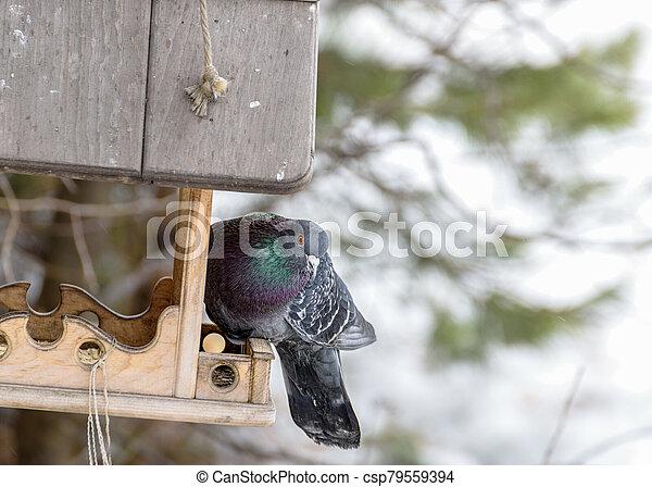 Blue pigeon on the feeder - csp79559394