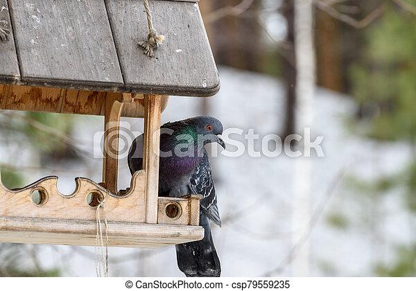 Blue pigeon on the feeder - csp79559235