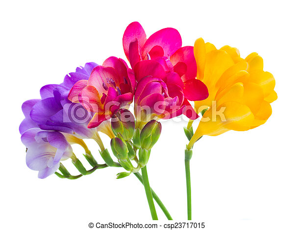Blue pink and yellow freesia flowers border isolated on stock blue pink and yellow freesia flowers csp23717015 mightylinksfo