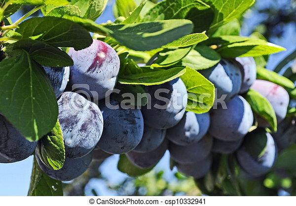 Blue plums - csp10332941