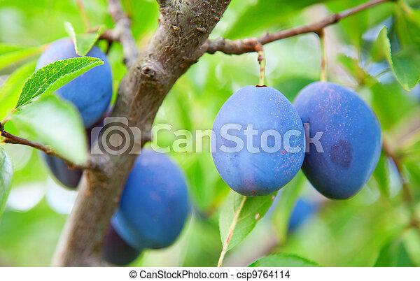 Blue plums - csp9764114