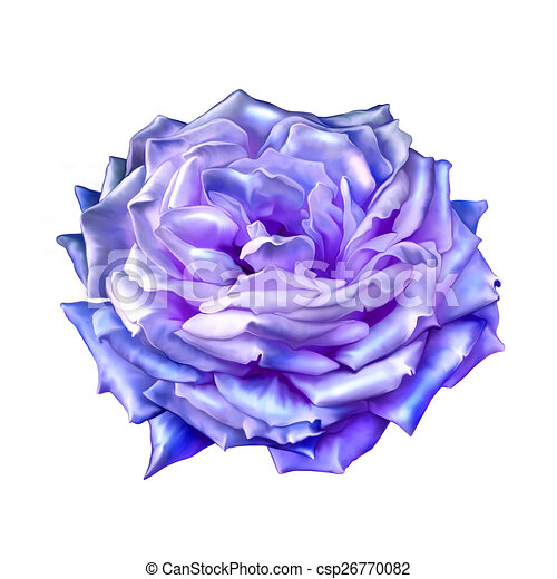 Blue Purple Rose Flower Isolated On White Background