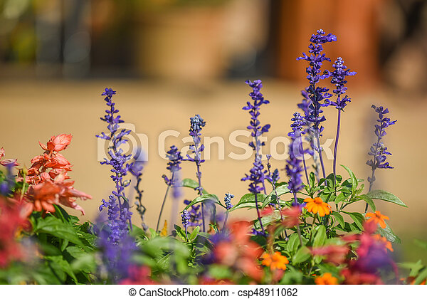 Blue Salvia flower in the garden - csp48911062