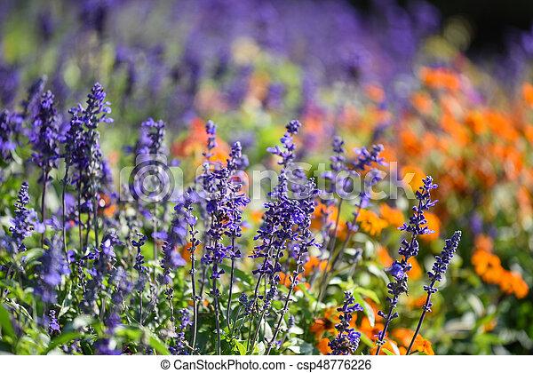 Blue Salvia flower in the garden - csp48776226