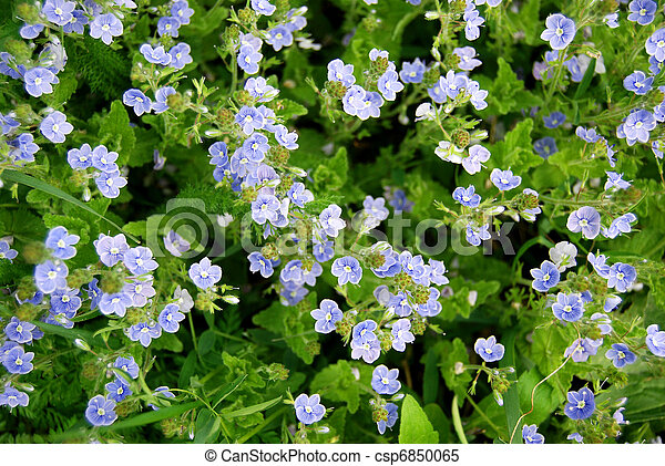 Blue small flowers - csp6850065