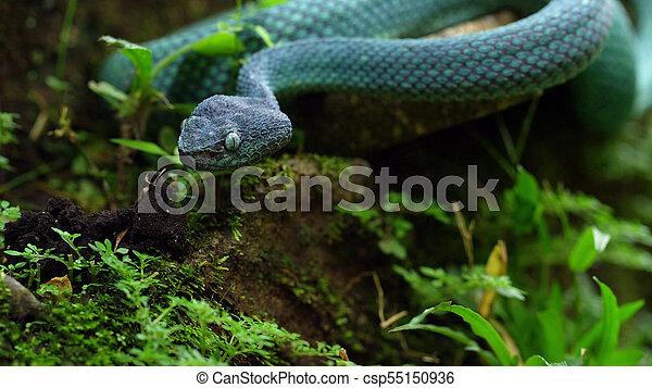 Blue snake in the grass  Blue insularis shunda pit viper in