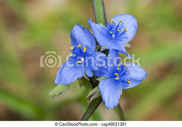Blue spiderwort, tradescantia - csp49531381