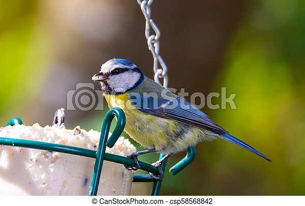 Blue tit bird at a bird feeder - csp58568842