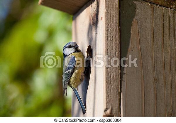 blue tit (Cyanistes caeruleus) by a nesting box - csp6380304