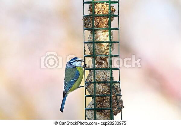 blue tit hanging on lard feeder - csp20230975
