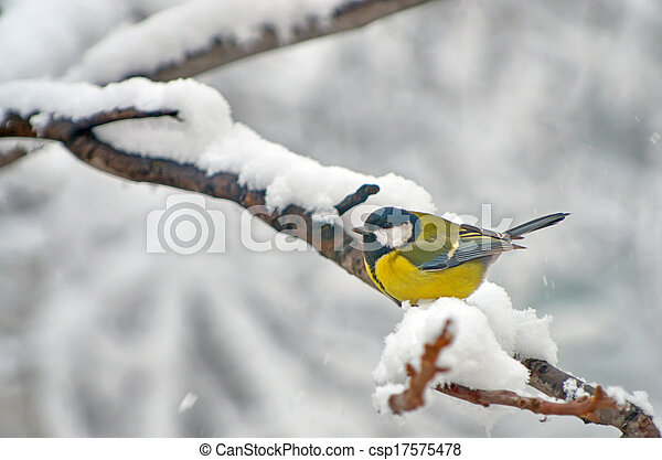 Blue Tit in the snow on a tree - csp17575478