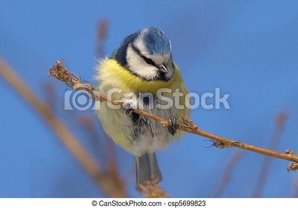 blue tit on branch, parus caeruleus - csp5699823