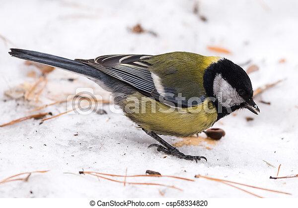 Blue tit on the snow. Close-up. - csp58334820