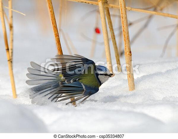 Blue Tit (Parus caeruleus, Cyanistes caeruleus) take-off in the snow - csp35334807