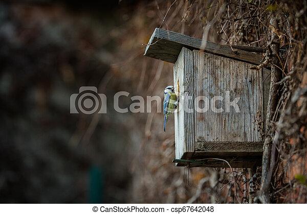 Blue tit Parus caeruleus on a bird house - csp67642048