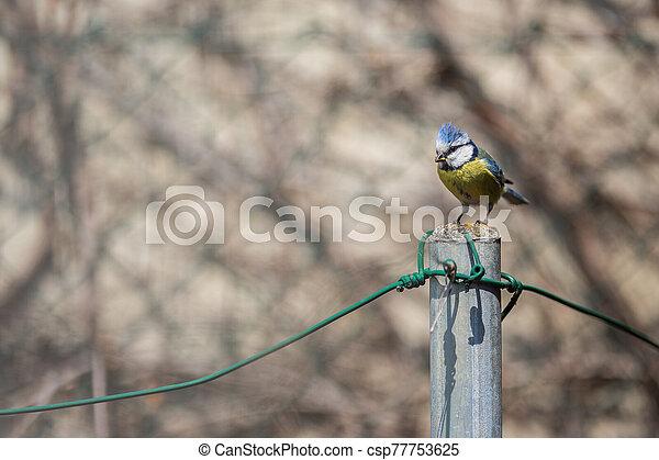 Blue tit Parus caeruleus on a bird house it inhabits - feeding the young - csp77753625