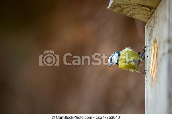 Blue tit Parus caeruleus on a bird house it inhabits - csp77753640