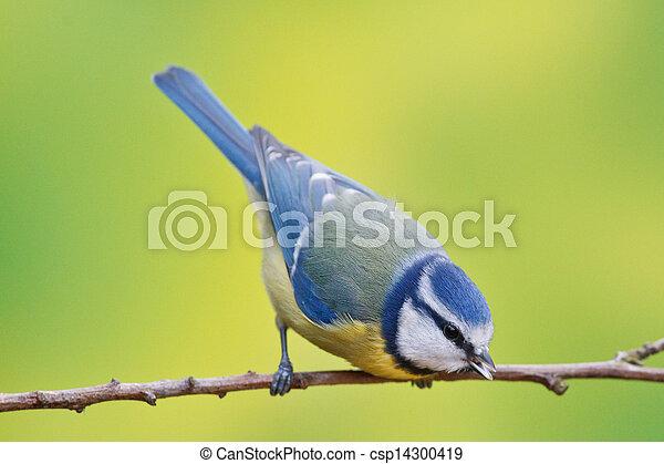 Blue tit, Parus caeruleus - csp14300419