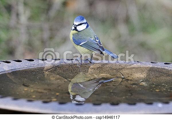 Blue tit, Parus caeruleus - csp14946117