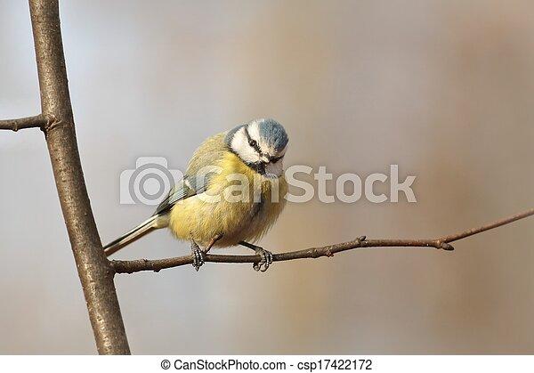 Blue tit (Parus caeruleus) - csp17422172