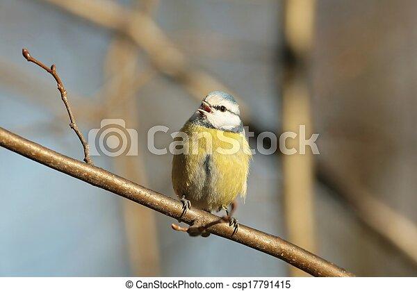 Blue tit (Parus caeruleus) - csp17791415