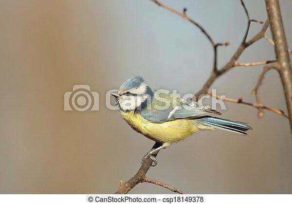 Blue tit (Parus caeruleus) - csp18149378