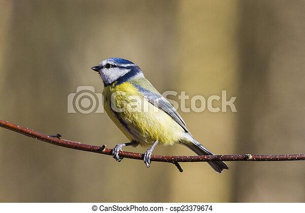 Blue Tit (Parus caeruleus) - csp23379674