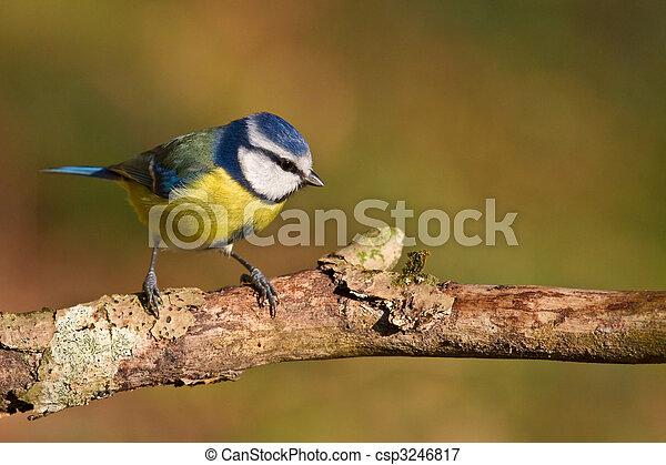 Blue tit, Parus caeruleus - csp3246817
