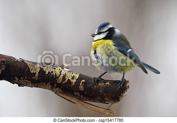 Blue Tit (Parus caeruleus) - csp15417780