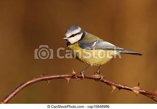 Blue tit, Parus caeruleus - csp15848986