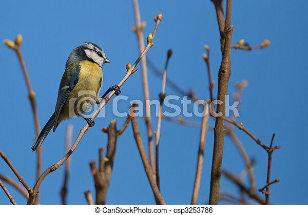 Blue tit (Parus caeruleus) - csp3253786